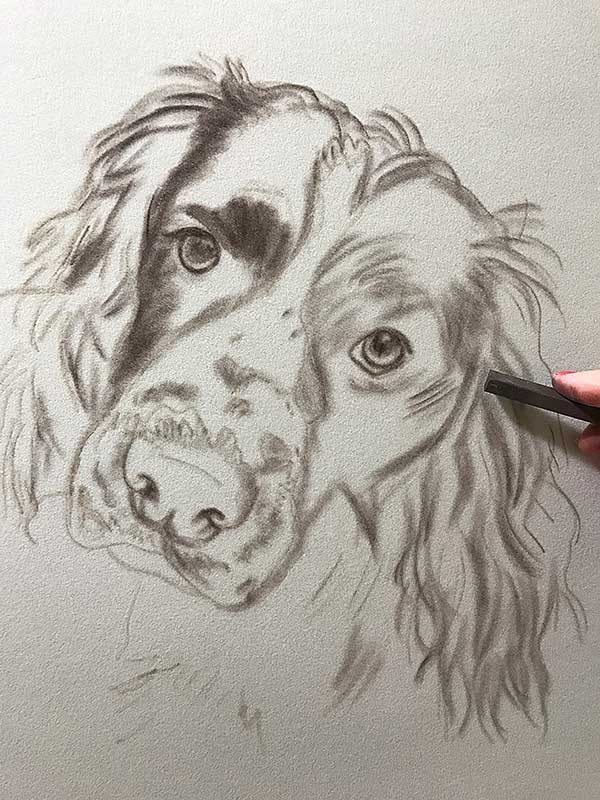 Springer Spaniel Portrait work in progress