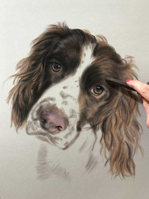Springer Spaniel Portrait of Freddie