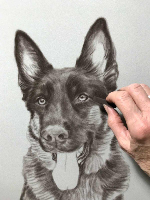 German Shepherd portrait work in progress