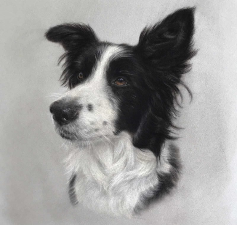 Finished Border Collie Portrait