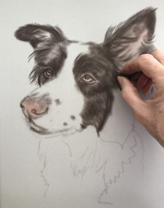 Border Collie Portraits - Rough Sketch