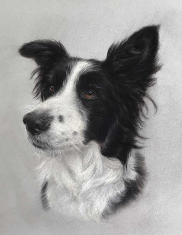 Dog Portrait Border Collie