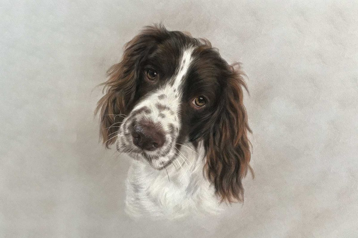 Springer Spaniel portrait
